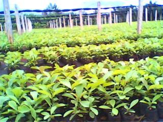 柚木、黄花犁、印度檀香、沉香苗