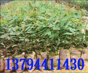 速生桉树 桉树组培苗 广林桉树