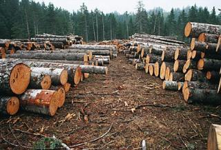 进口的杉木,落叶松原木