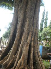 菲律�e紫檀(PHILIPPINE NARRA)