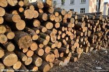 供应松木、杉木(原木、锯材、按你方规格加工亦可)