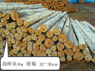 图里河 白桦 长4m 径级12-14cm