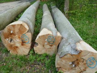 欧洲榉木原木与板材(丹麦,德国)