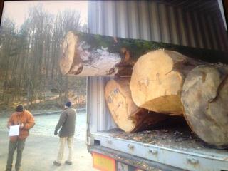 AB级榉木原木