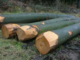 欧洲大直径榉木原木
