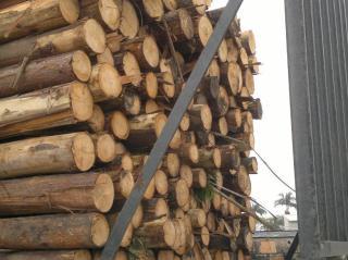 进口桉树原木(南美)