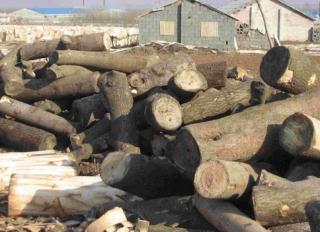 厂家低价供应梧桐树原木,梧桐树原木价格