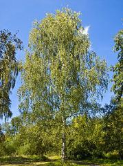 俄罗斯进口白桦木