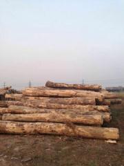 进口枫木原木