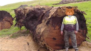 新西兰5万年阴沉木 出土