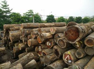 供应大量北美黄杨原木