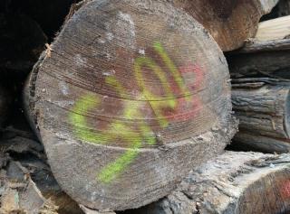 大径北美黄杨原木