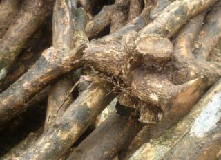 出售国内小叶黄杨木原木