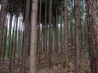 出售国内杉木原木
