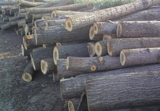 出售俄罗斯杨木原木