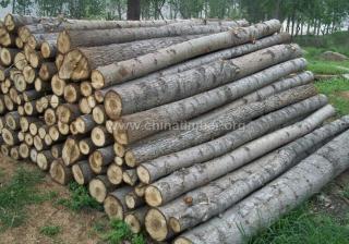 出售进口俄罗斯杨木原木