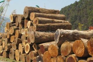 缅甸进口香樟木