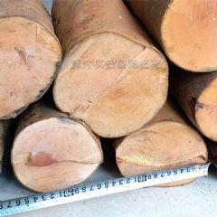 高原野生油茶木大直径