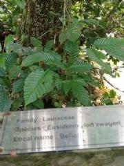 坤甸铁樟木