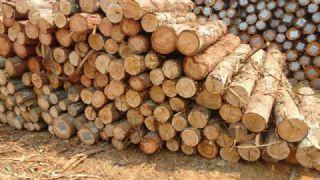 巴西白桉原木