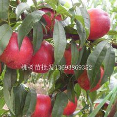 桃树苗批发桃树苗销售桃树苗价格梨树苗批发梨树苗销售
