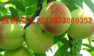 李子树苗销售李子树价格李子树苗种植杏树苗批发杏树苗
