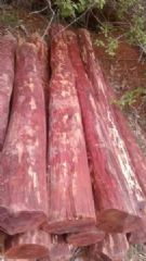 非洲缅茄木