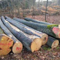 金威木业最新供应德国进口优质榉木原木AB级