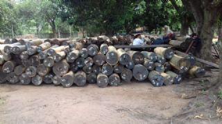 巴拉圭顶级绿檀/愈创木原木 500吨