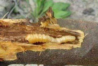 木材杀虫剂