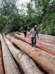 南美双柱苏木