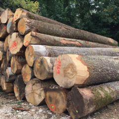 金威木业进口欧洲 白橡木ABC级 原木