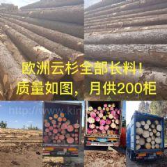 金威木业进口欧洲云杉原木 月供200柜