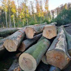 金威欧洲榉木 水青冈 原木 欧洲木材 实木