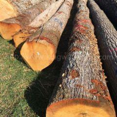 金威进口法国白橡木 原木 实木 欧洲橡木