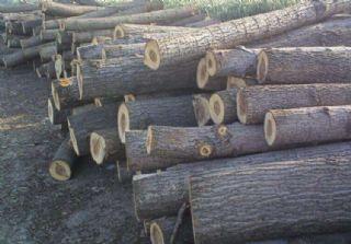 大量杨木出售,杨木批发,原木杂木价格收购加工厂