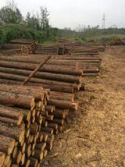长期杉木批发,杉木出售加工,木方板材,杉木厂家