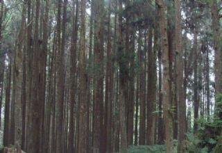 马尾松,杉木,原木