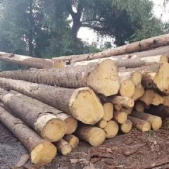 金威木业捷克云杉 云杉 杉木 原木 实木 欧洲云杉