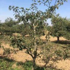 山西果树 3--15公分山楂树 山桃树