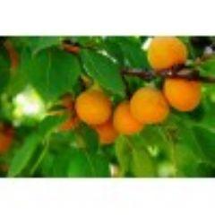 出售杏树 占地杏树山西运城杏树报价