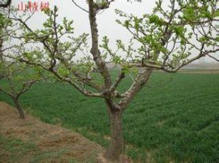 占地山楂树 5公分山楂树