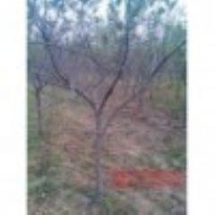 出售2--3--4--5公分苹果树 占地苹果树