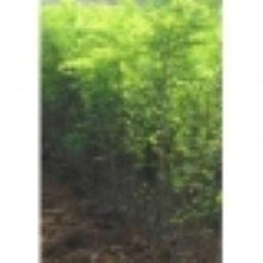 刺槐苗出售0.8--1公分刺槐苗量大