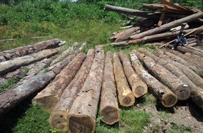 鱼珠木材市场:铁木豆出货量占全周销量50%以上