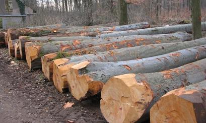 橡胶木原木