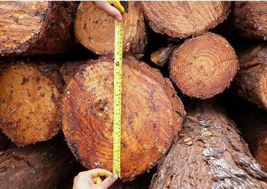 太仓港:谨慎进口北美稀有针叶树原木