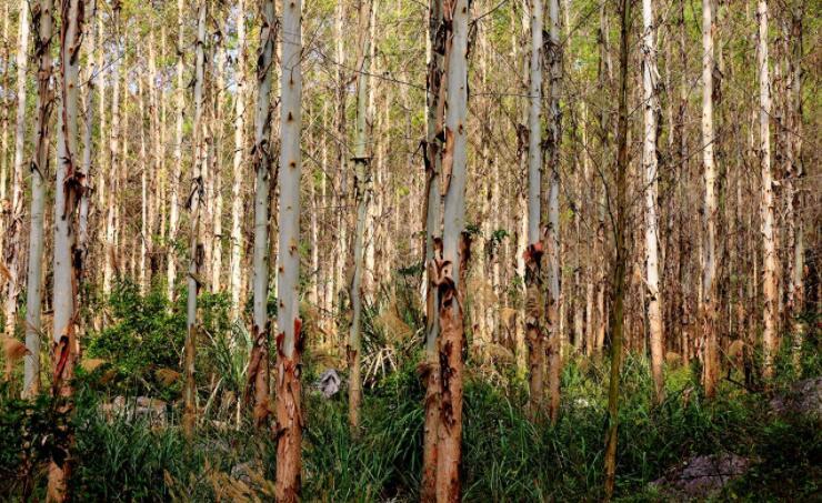 科学经营桉树不会造成地力衰退